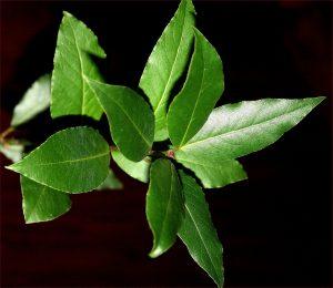 bay leaf, lauro, laurel, mary beth clark,