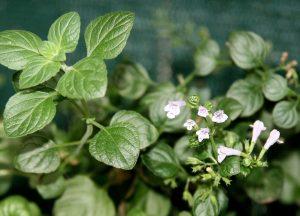calamint, nepitella, mary beth clark, tuscan herbs,