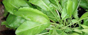 costmary, san pietro herb, mary beth clark,