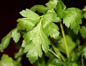parsley, italian parsley, flat leaf parsley, mary beth clark,