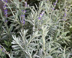 lavender, mary beth clark, dried lavender,