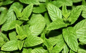 mint, mint leaves, mint tea, mary beth clark,