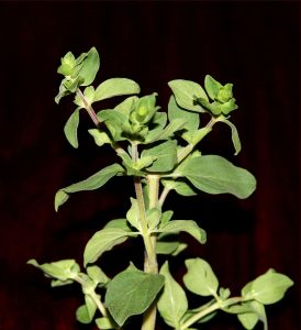 oregano, mary beth clark,