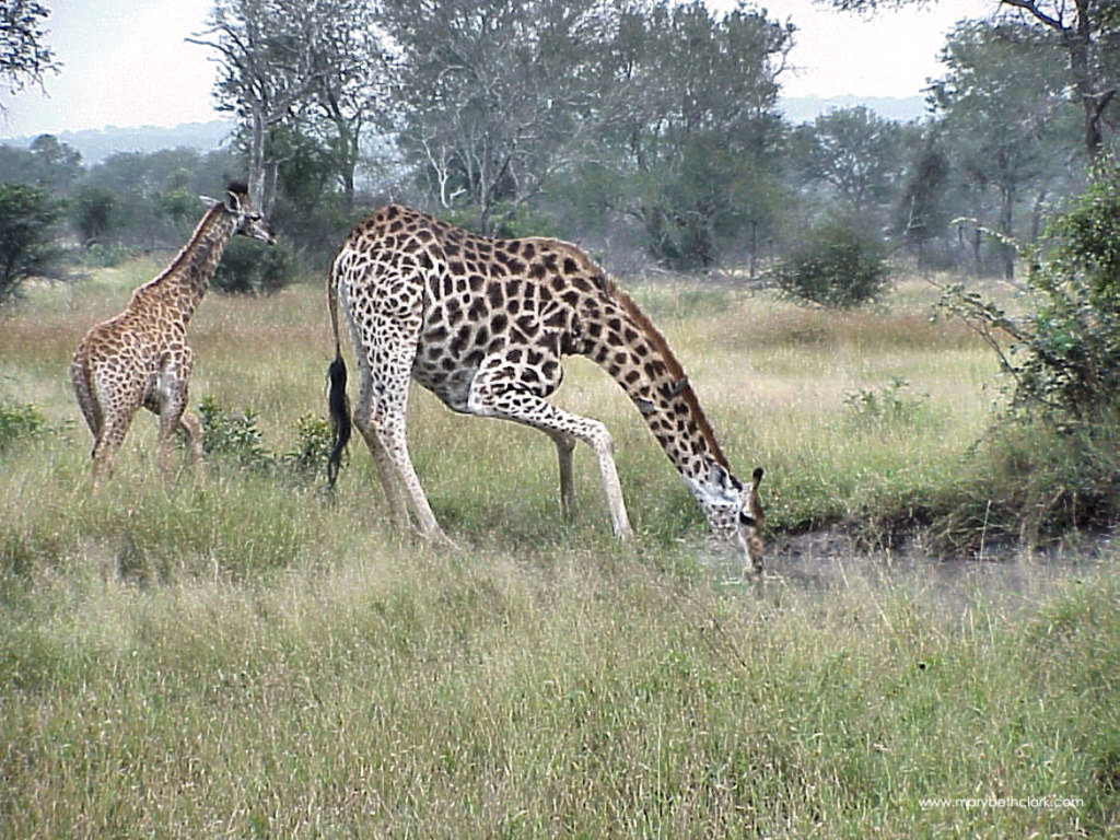 South Africa - A Mother Giraffe drinking with her Teenager