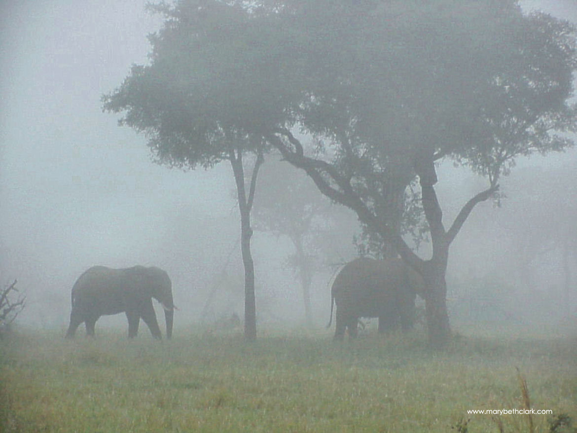 South Africa - Morning Mist - Two Young Bull Elephants