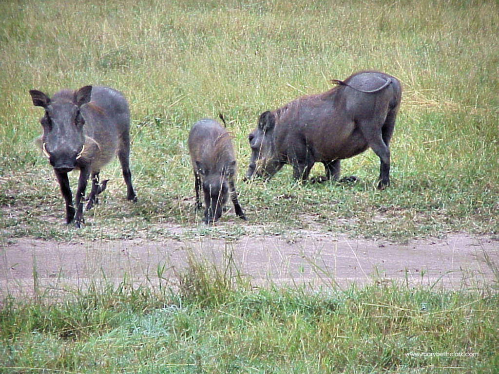 South Africa - Two Adult Warthogs with Their Child