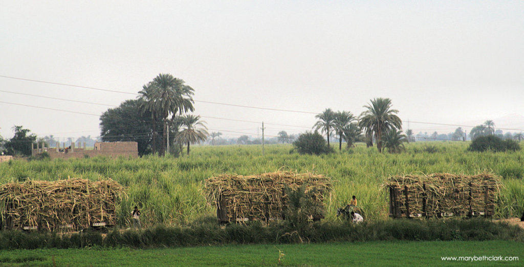 Egypt - Luxor - The January Sugarcane Harvest